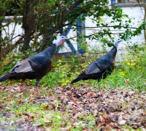 Tom and Hen Turkey Flee the Scene– CLICK ME!!!!