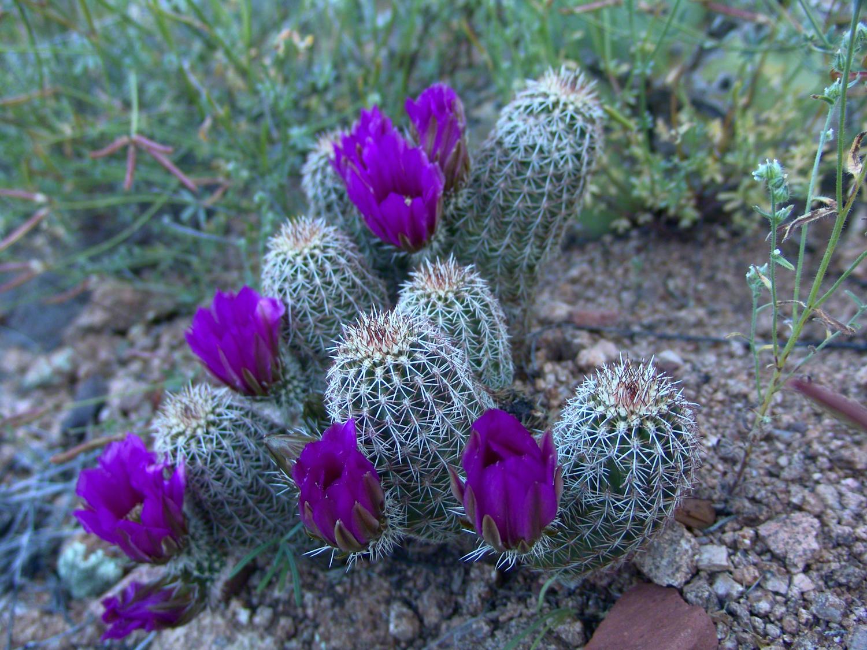 Lavender Hedgehog Cactus Blooms