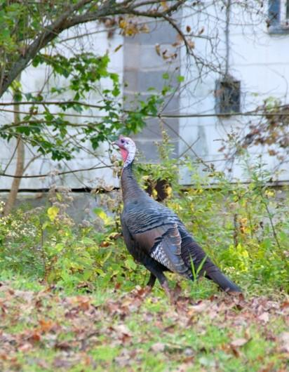 A Defiant Tom Turkey– CLICK ME!!!!