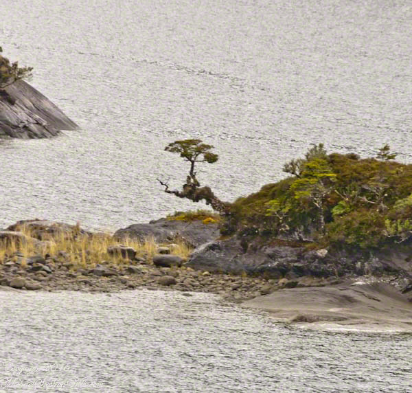 This tree was dwarfed by the environment of this islet of the Tempanos Fjord, 6.5 miles from Iceberg Glacier.  It is a regrowth from the root of a larger tree damaged by the weather or a flood.
