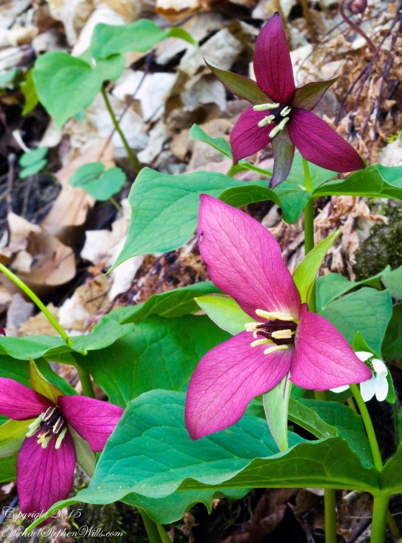 Fillmore Glen Purple Trillium