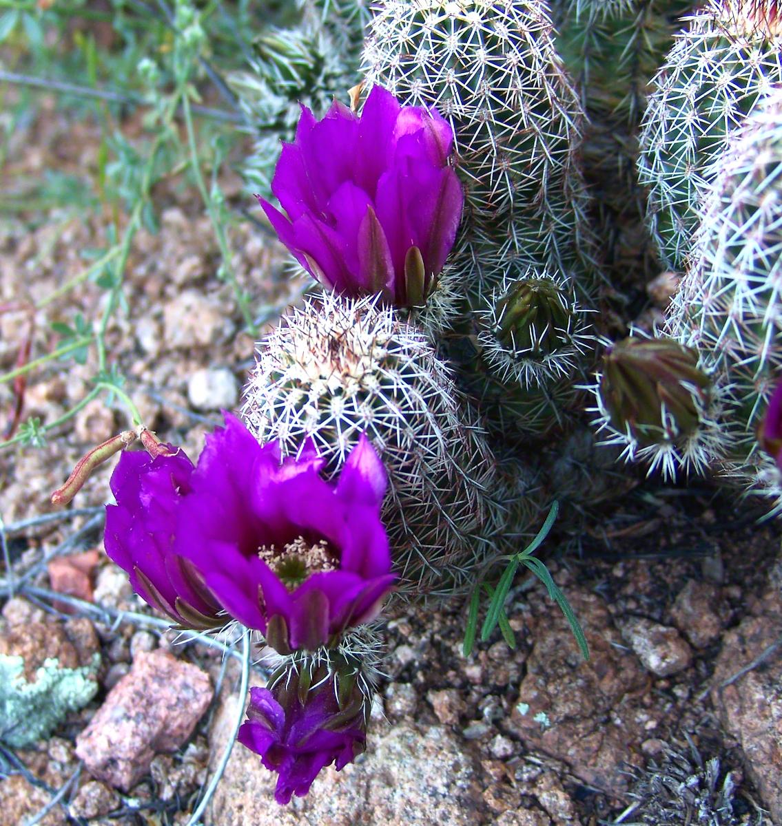 Lavender Hedgehog Blossoms