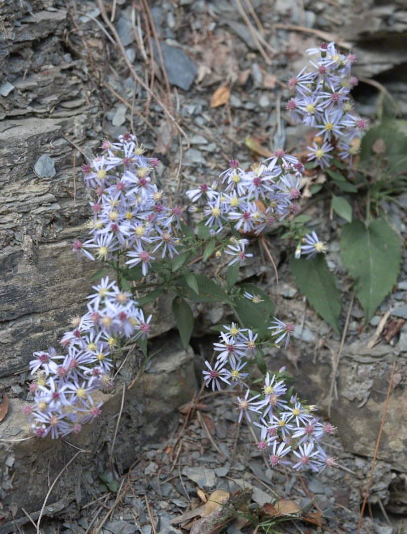 Pams Asters