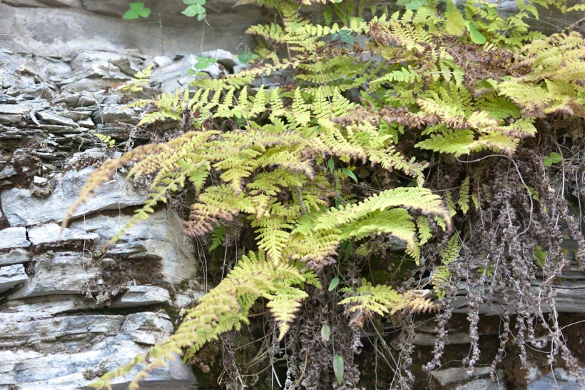 Ferns with previous growth
