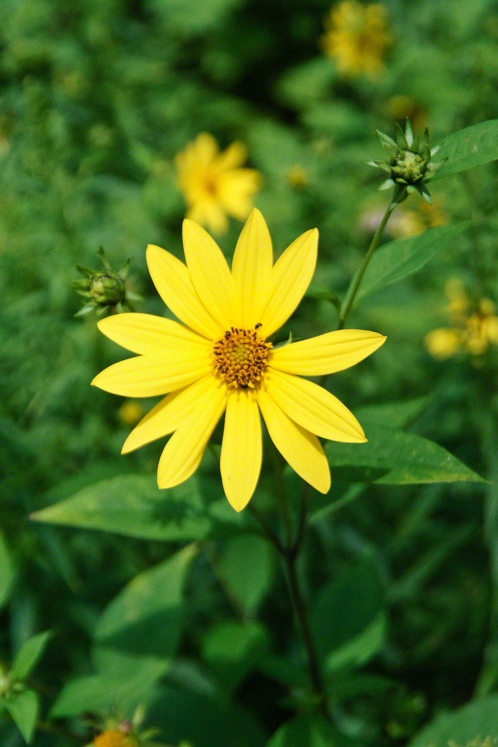 Thin Leaved Sunflower