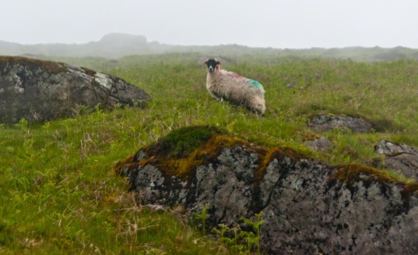 Ram on Slieve Foy