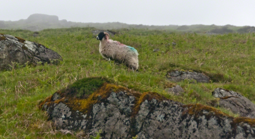 Ram in profile on Slieve Foy
