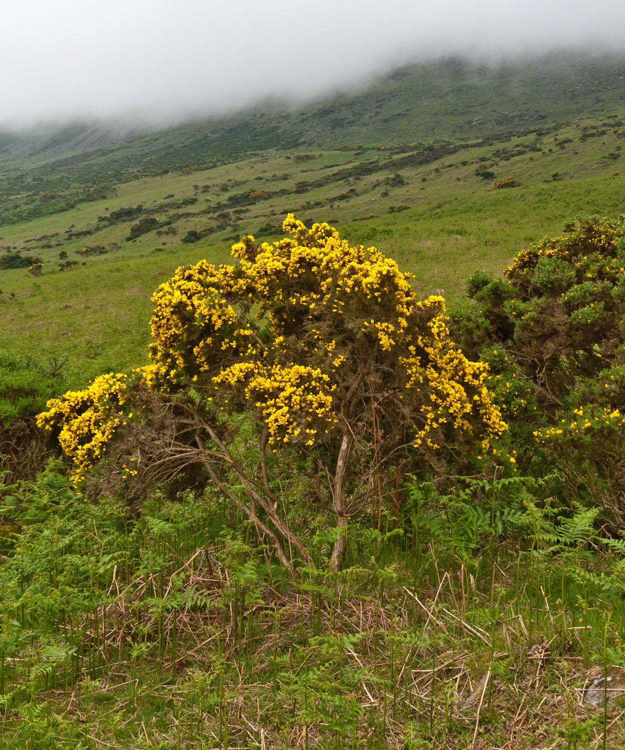Gorse against the slopes of Slieve Foy