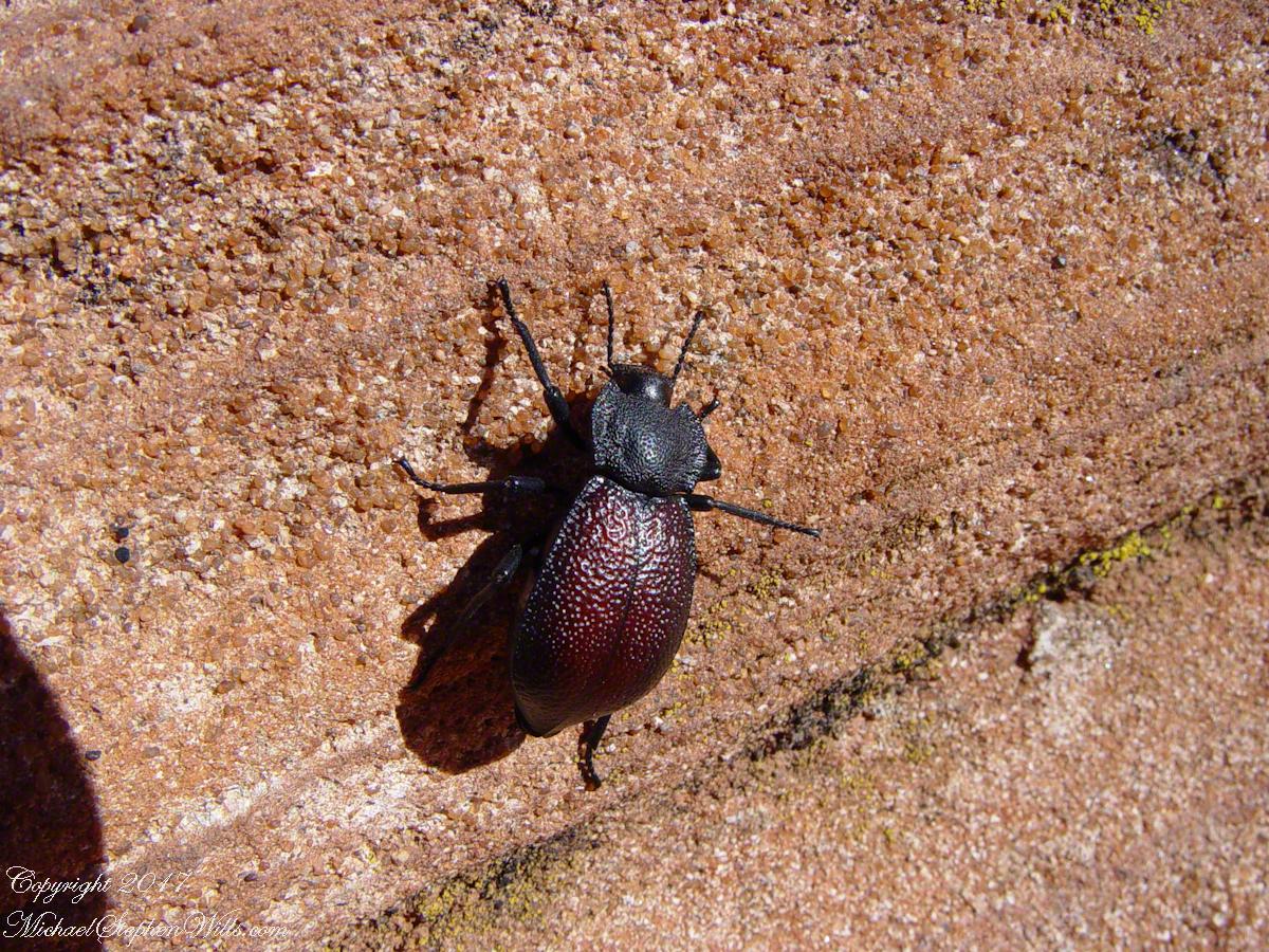 Beetle on Slickrock