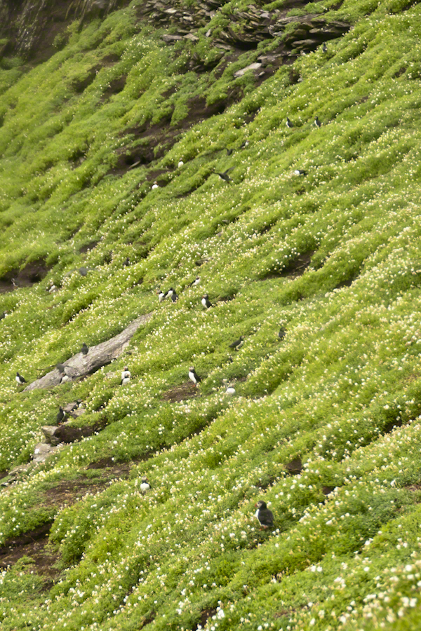 Puffins of Michael Skellig