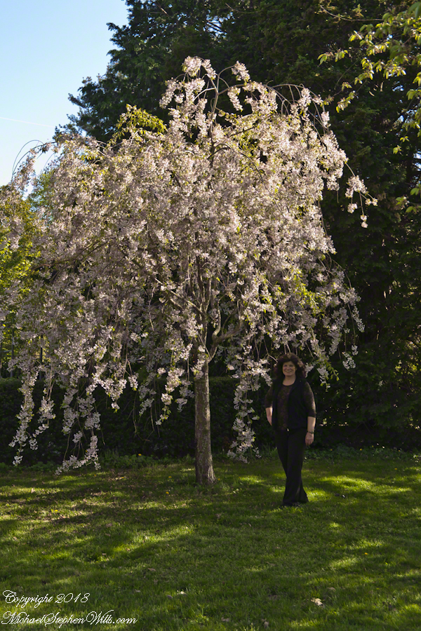 Pam with a Shirofugen Flowering Cherry in bloom – CLICK ME for my Getty Portfolio.