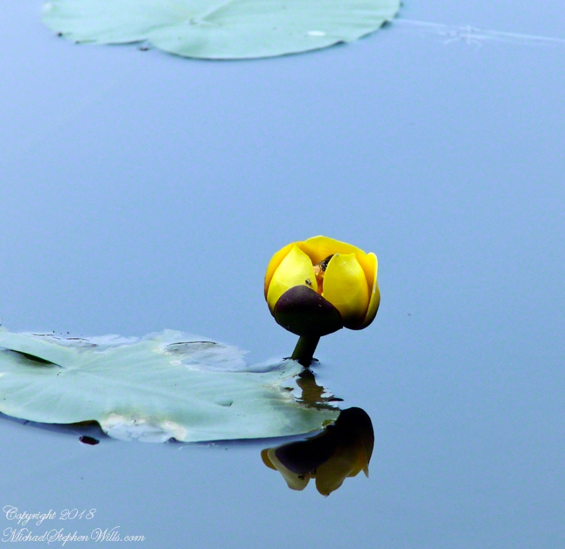 Water Lily Flower with hornet – CLICK ME for more Adirondack photography.