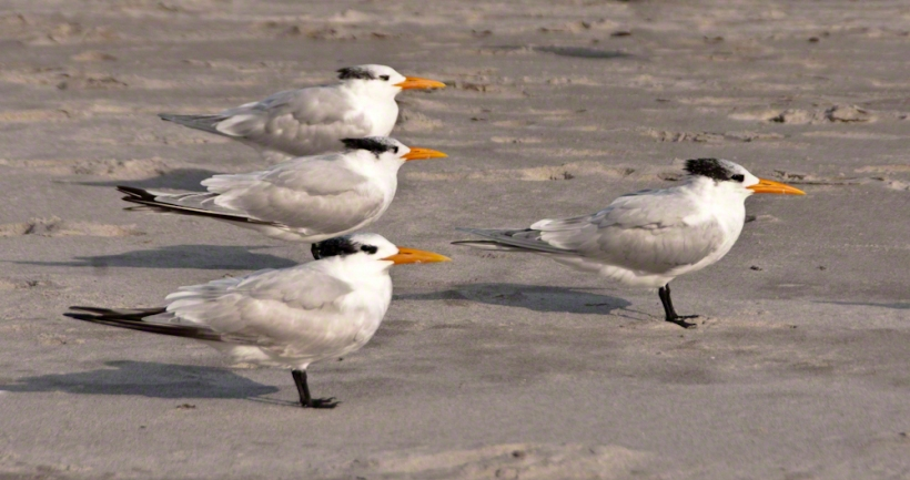 Royal Terns at rest – CLICK ME for more Florida photography.