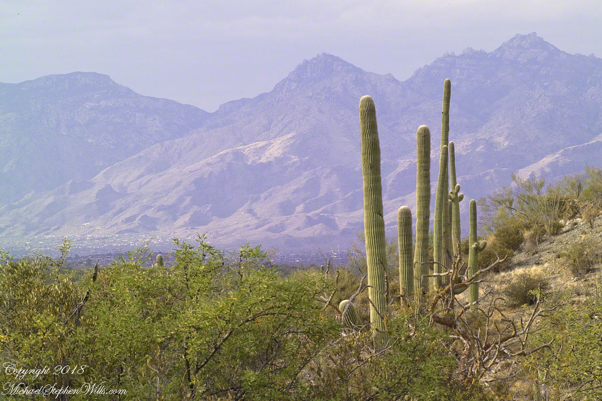 Young Saguaros and the Catalinas – CLICK ME to view Ocotillo Sunset.