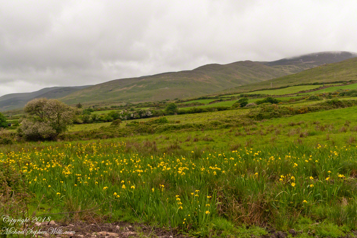 Field of Yellow Iris Flowers, Dingle Peninsula