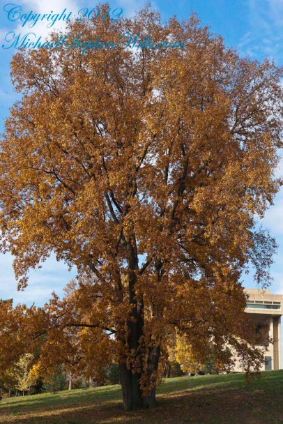 Later in October the bright yellow leaves of the Libe Slope Hickory darken to a tawny gold. The Johnson Museum is in the right background.