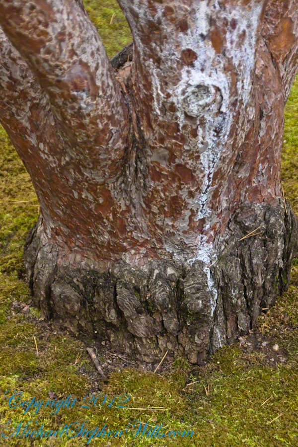 Base Trunk - Tanyosho Red Pine Cultivar