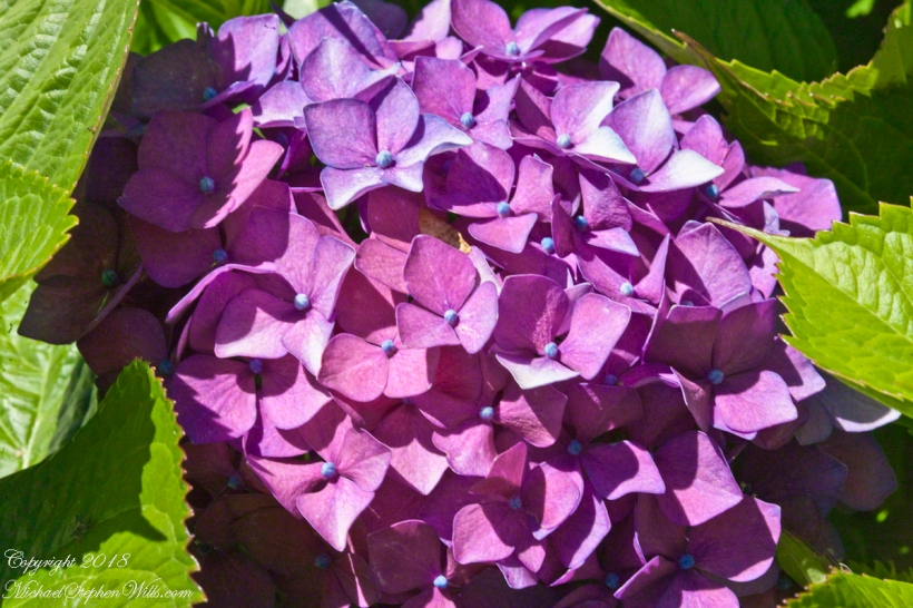 Hydrangea Ensenada ClubAleman Chile February 15, 2016