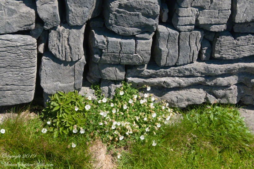 Detail of Dun Aonghasa Dry Stone Wall with White Flowers of Sea