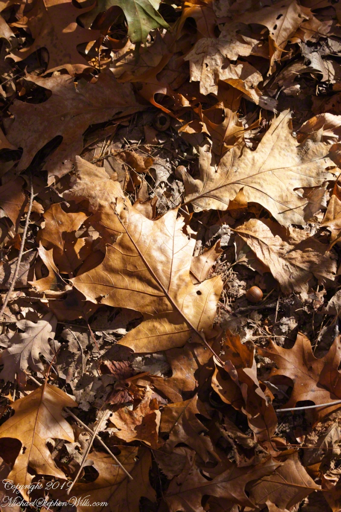 Oak Leaves, forest floor