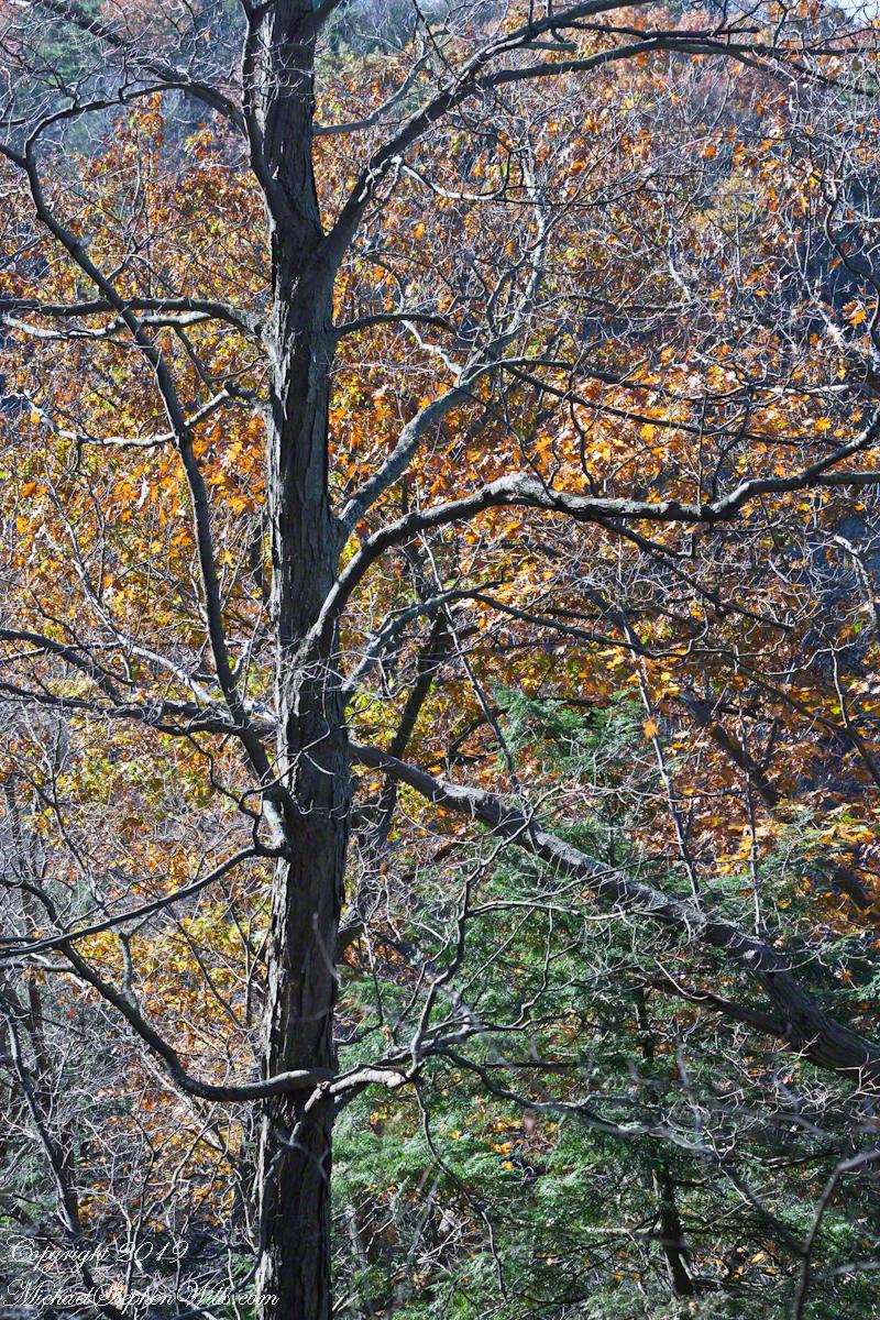 Oak and Hemlock