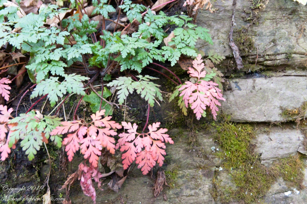 Cliff Stair Wall, autumn Geranium and mosses