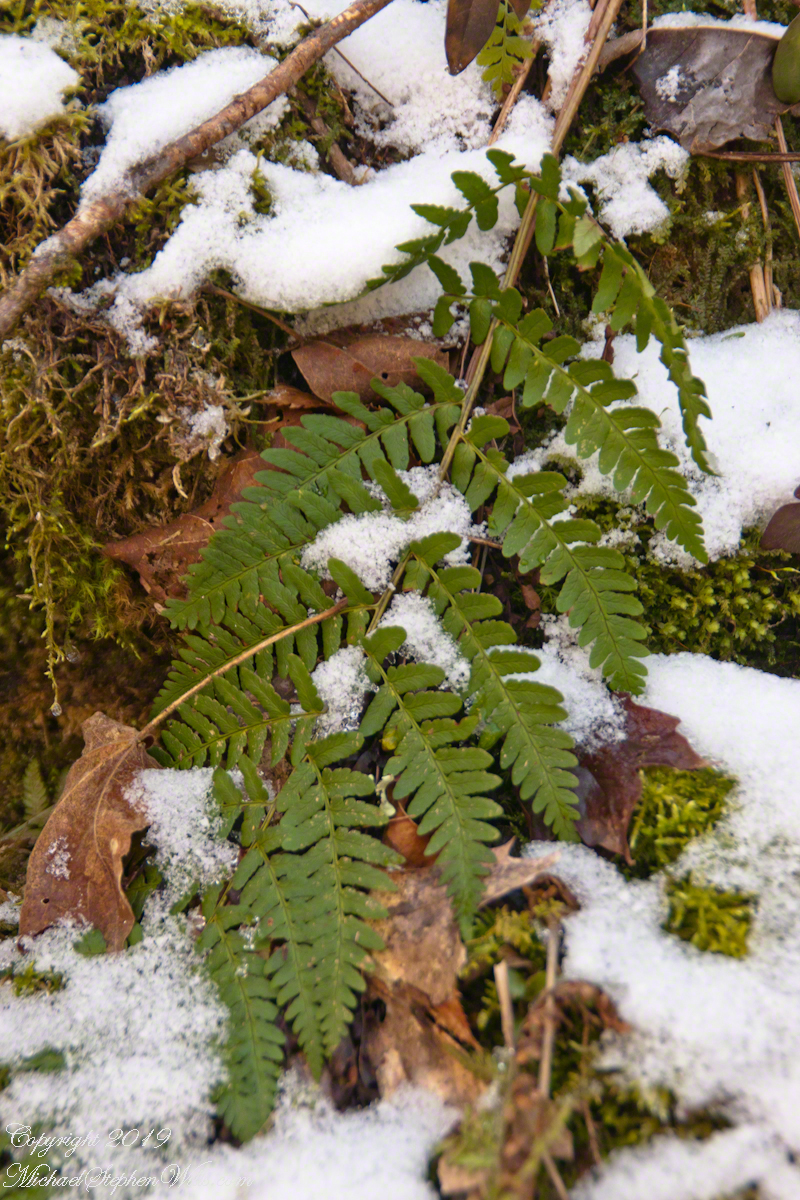 Fern Frond with Early April Snow